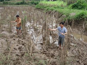 Vườn mía của gia đình anh Bùi Văn Chiến bị ngập nước và chết sau trận mưa lớn vừa qua.