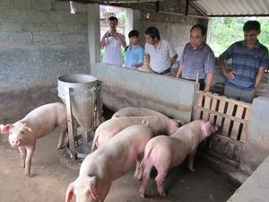 Đàn lợn của gia đình Nguyễn Ngọc Chương, xã Nhuận Trạch (Lương Sơn) đã được điều trị khỏi bệnh tai xanh.