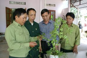 CCB Bùi Đắc Quang, xóm Tày Măng, xã Tu Lý (Đà Bắc) gới thiệu với lãnh đạo Hội CCB tỉnh và huyện về giống cây giảo cổ lam trên vùng Đà Bắc.
