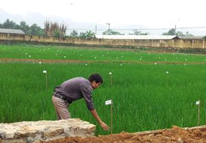 Cán bộ Trại giống cây trồng xóm Vôi, xã Liên Vũ (Lạc Sơn) – Trung tâm Giống cây trồng tỉnh kiểm tra quá trình sinh trưởng, phát triển của các loại giống lúa mới đang được nghiên cứu khảo nghiệm tại Trung tâm.