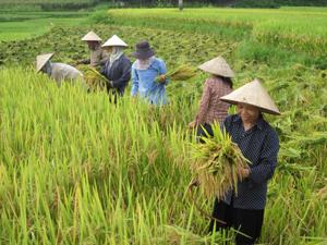 Nông dân xã Sào Báy (Kim Bôi) tập trung thu hoạch lúa xuân.