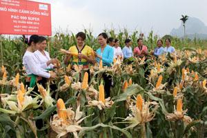 Mô hình sản xuất ngô lai PAC 999 Super cho kết quả tốt, được bà con nông dân xã Hợp Hòa (Lương Sơn) đánh giá cao và tiếp tục lựa chọn để sản xuất các vụ tiếp theo.