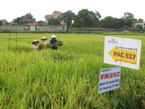 Nông dân thôn Đồng Bưng, xã Nhuận Trạch thu hoạch diện tích trồng khảo nghiệm giống lúa lai PAC 837, năng suất đạt 70,2 tạ/ha.