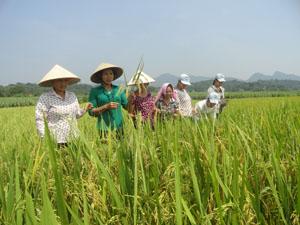 Nông dân huyện Lương Sơn thường xuyên kiểm tra diện tích lúa xuân trà chính vụ để kịp thời thu hoạch khi lúa đủ độ chín.
