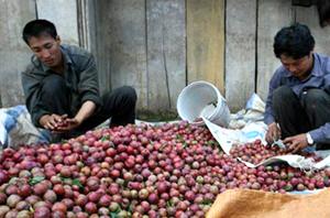 Nhờ có mận mận mà nhiều gia đình ở 2 xã Pà Cò, Hang Kia (Mai Châu) thoát nghèo.