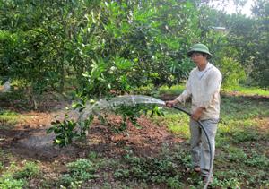 Anh Bùi Văn Cương chăm sóc vườn cam của gia đình.