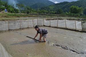 Đã gieo đủ 4 kg mạ giống nhị ưu 838 nhưng do mạ chết, chị Bùi Thị Tuất ( Vó Khang – Kim Tiến) phải tự bỏ tiền mua 4 kg giống gieo lại hoàn toàn.