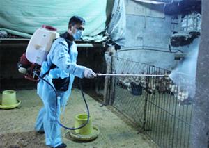 Hộ chăn nuôi xã Thống Nhất (thành phố Hoà Bình) thực hiện biện pháp phun tiêu độc, khử trùng môi trường nuôi nhốt để phòng bệnh cúm gia cầm.