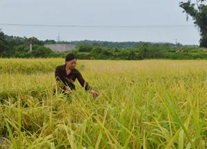 Giống lúa MĐ1 - giải pháp nâng cao hiệu quả sử dụng đất trồng lúa