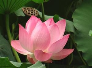 Hoa sen vẫn nhận được nhiều ý kiến đồng thuận của người dân làm Quốc hoa