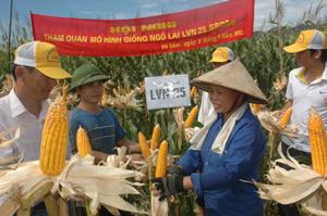 Các đại biểu và nông dân thôn Quyết Tiến, xã Vũ Lâm (Lạc Sơn) kiểm tra đánh giá chất lượng, năng suất giống ngô LVN25 tại mô hình trình diễn.