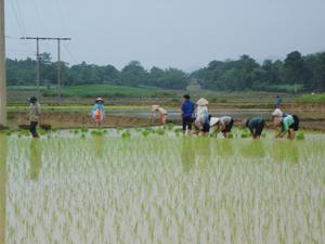 Nông dân xã Hương Nhượng (Lạc Sơn) tập trung gieo cấy lúa mùa. Đến giữa tháng 7, toàn huyện Lạc Sơn đã thực hiện gieo trên 470 tấn mạ, tổng diện tích lúa mùa đã cấy là 1.512 ha