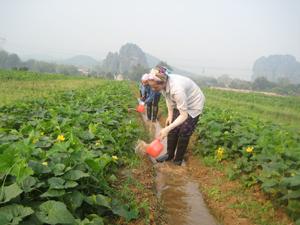Nông dân xã Hợp Hòa (Lương Sơn) chăm sóc rau bí thương phẩm SX theo quy trình NNHC đem lại giá trị kinh tế cao.