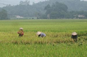 Chất lượng nông sản và năng suất lúa ở xóm Nại, xã Tân Mỹ (Lạc Sơn)  tăng cao với trên 60 tạ/ha nhờ sử dụng thuốc BVTV đúng lúc, đúng cách.