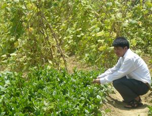 Mô hình nông nghiệp hữu cơ thực hiện ở xóm Sòng, xã Thành Lập bước đầu đem lại hiệu quả kinh tế, được nhiều người dân trong xã quan tâm thực hiện.