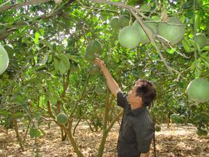 Thương binh Nguyễn Xuân Sinh, thôn Đồng Riệc, xã Đồng Tâm (Lạc Thủy) phát triển mô hình trồng cây ăn quả thu nhập 70 triệu đồng/năm.