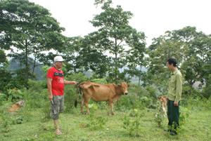 Mỗi năm gia đình CCB Hoàng Văn Chiến cho xuất chuồng 10 con bê với tổng trị giá hơn 100 triệu đồng.
