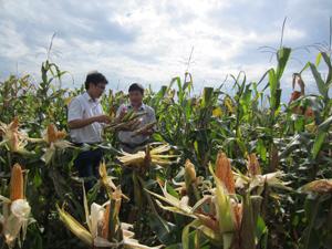 Cán bộ Chi cục BVTV tỉnh và phòng NN &PTNT huyện Lương Sơn kiểm tra, đánh giá hiệu quả các mô hình khảo nghiệm giống ngô lai mới trong vụ xuân 2014 tại xã Hợp Hòa (Lương Sơn).