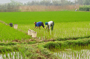 Sau khi hoàn thành gieo cấy lúa đảm bảo diện tích và thời vụ, nông dân xã Dũng Phong (Cao Phong) tập trung chăm sóc đảm bảo điều kiện sinh trưởng, phát triển tốt cho cây lúa.