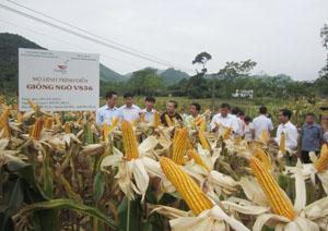 Các đại biểu khảo sát kết quả thực hiện mô hình tại khu ruộng trình diễn VS36 thuộc địa bàn xóm Tày Măng, xã Tu Lý, huyện Đà Bắc.