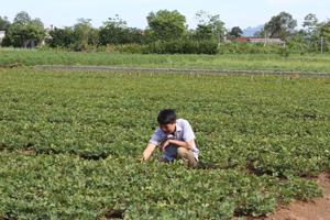 Xã Ngọc Lương (Yên Thuỷ) phát triển cây lạc giống mới cho năng suất, chất lượng cao.