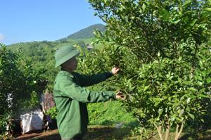 Hộ trồng cam thị trấn Cao Phong (Cao Phong) áp dụng tốt quy trình kỹ thuật trong sản xuất cam an toàn, từ đó nâng cao hiệu quả canh tác.
