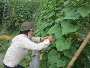 Từ mô hình của Chủ tịch UBND xã Bùi Văn Chung, đến nay, xã Văn Nghĩa (Lạc Sơn) đã phát triển trên 50 ha mướp đắng, bí đỏ, dưa chuột lấy hạt.