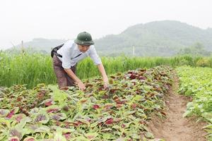 Xã Hợp Hoà, Lương Sơn là một trong 3 xã của tỉnh được lựa chọn tham gia dự án MOAP giai đoạn 2016-2019. Ảnh: Sản phẩm rau hữu cơ của xã Hợp Hoà được thị trường tin dùng.