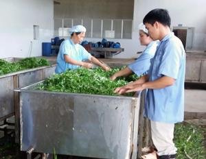 Nhà máy chế biến rau quả xuất khẩu của Công ty CP Đầu tư Sannam chỉ có vài công nhân làm việc.  ảnh: p.v