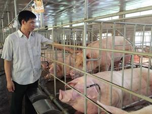 Mô hình chăn nuôi lợn của gia đình ông Nguyễn Văn Thu, thôn An Thịnh, xã Long Sơn (Lương Sơn) cho thu nhập cao.