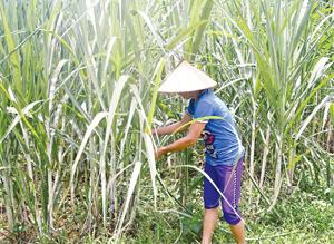 Cuộc sống gia đình chị Bùi Thị Xuân ở xóm Bùi cùng hàng trăm hộ dân ở xã Tân Mỹ (Lạc Sơn) phụ thuộc vào cây sắn, mía nguyên liệu. Các hộ thấp thỏm, lo âu không tiêu thụ được sản phẩm khi cả Nhà máy chế biến tinh bột sắn và Nhà máy mía đường đang bị đình chỉ hoạt động.