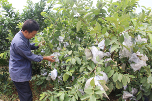 Gia đình thương binh Nguyễn Xuân Sinh, xã Đồng Tâm (Lạc Thủy)   phát triển mô hình trồng cây ăn quả kết hợp chăn nuôi trên diện tích 7.000 m2, thu nhập bình quân trên 100 triệu đồng/năm. ảnh: ông Sinh chăm sóc vườn ổi lê chuẩn bị thu hoạch.