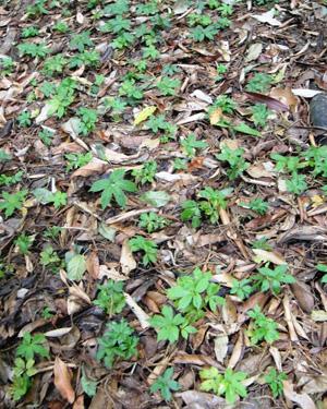 Cây sâm Ngọc Linh vô tính sinh trưởng và phát triển ở núi Ngọc Linh sau 8 tháng.