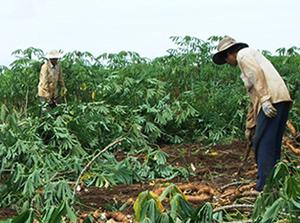 Mô hình canh tác sắn bền vững trên đất dốc đã đem lại hiệu quả kinh tế cao cho nhân dân xã Hương Nhượng (Lạc Sơn)
