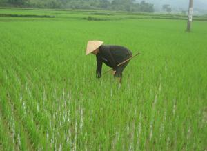 Nông dân xóm Mè, xã Tu Lý thường xuyên thăm đồng, kiểm tra tình hình ốc bươu vàng lúa mùa để kịp thời xử lý.