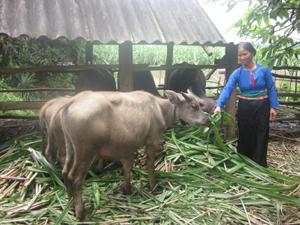 Chị Bùi Thị Nhinh chăm sóc đàn trâu của gia đình.