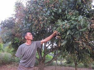 Hàng chục năm nay, vườn nhãn lồng trái vụ đã mang lại thu nhập đáng kể cho thương binh Lưu Công Khanh.