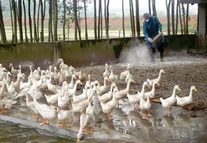 Nông dân xã Yên Bồng (Lạc Thuỷ) rắc vôi bột khử trùng tiêu độc cho đàn gia cầm.