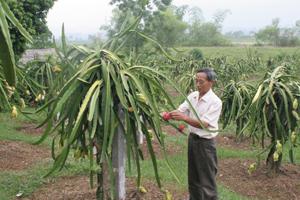Ông Vũ Tuấn Khích, xóm Giếng, xã Hợp Thành (Kỳ Sơn) chăm sóc cây thanh long  ruột đỏ.