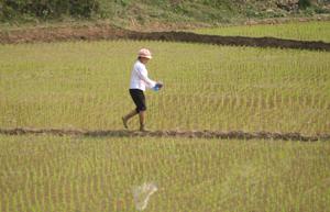 Nông dân xã Yên Mông (TPHB) bón phân cho diện tích lúa trà muộn đang thời kỳ đẻ nhánh.