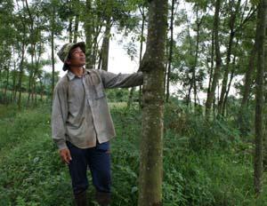 Rừng xoan của anh  Đinh Văn Giáp trồng từ những ngày đầu lên núi lập nghiệp.