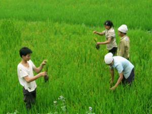 Nông dân xã Tú Sơn (Kim Bôi) kiểm tra, xác định mật độ rầy trên lúa để kịp thời áp dụng các biện pháp diệt trừ.