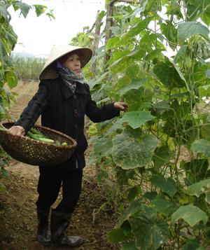 Nông dân xã Nhuận Trạch trồng dưa chuột theo phương thức sản xuất hữu cơ, từ đó nâng cao chất lượng nông sản và gia tăng hiệu quả kinh tế trên cùng một đơn vị diện tích.