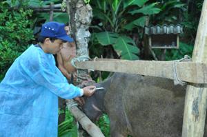 Triển khai tiêm vắc xin phòng bệnh LMLM tại Xăm Khòe.