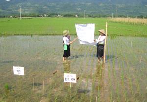 Nông dân xã Tân Mỹ (Lạc Sơn) được chuyển giao kỹ thuật chọn tạo giống lúa và thâm canh lúa cải tiến để nâng cao năng suất lúa vụ mùa 2013.