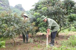 Ông Mạnh và bà Thương chăm sóc cây ăn quả.