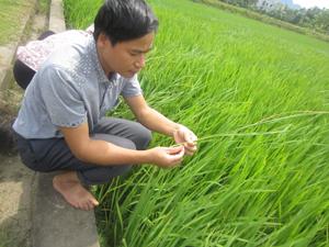 Cán bộ khuyến nông kiểm tra tình hình sâu bệnh hại trên diện tích lúa mùa trà sớm xã Hùng Tiến (Kim Bôi). Ảnh: P.V