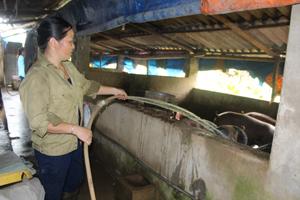 Chị Bùi Thị Lý, xóm Rộc, xã Nật Sơn (Kim Bôi) phát triển mô hình nuôi lợn thịt mang lại hiệu quả kinh tế cao.