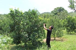 Thực hiện chủ trương chuyển đổi cơ cấu cây trồng,  người dân xã Yên Thượng (Cao Phong) mở rộng diện tích  trồng cây ăn quả có múi đem lại hiệu quả kinh tế khá.