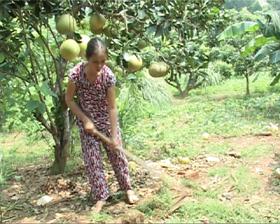 Chị Quách Thị Huấn chăm sóc vườn cây.